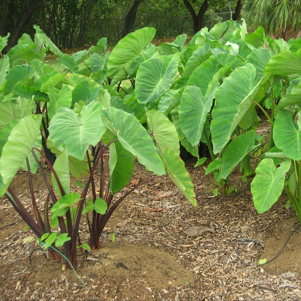 Peneliti Usulkan Talas Banten Makanan Pokok Pengganti Beras