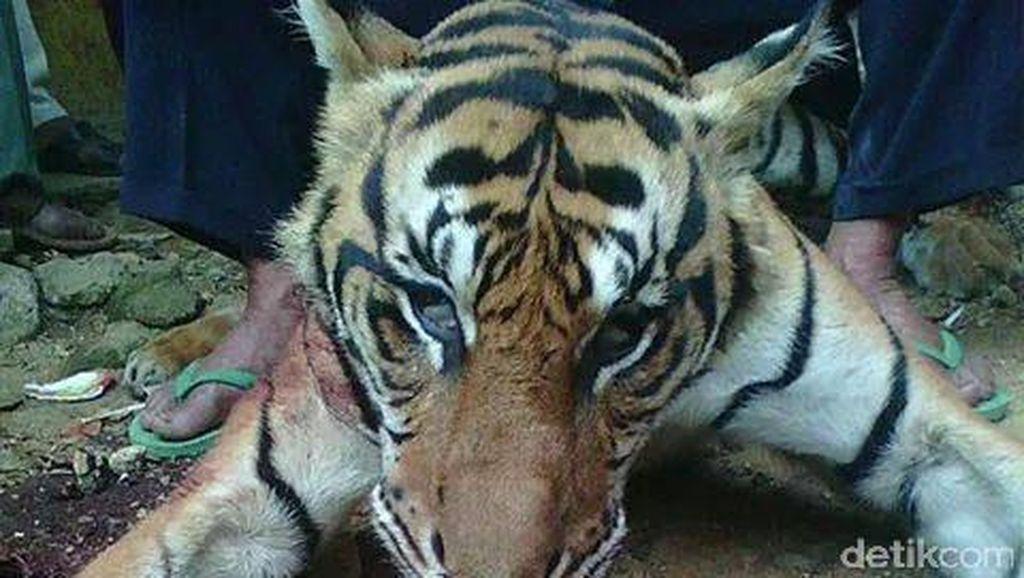Bawa Kulit Harimau Sumatera Segar, Pria Penembak Ditangkap