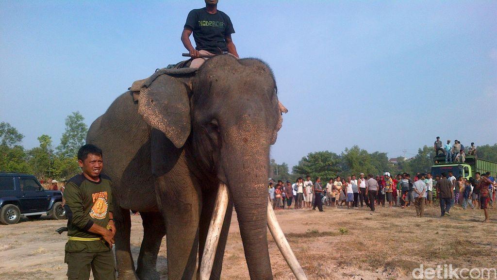2 Gajah Dikerahkan untuk Rayu Gajah Liar yang Nyasar ke Kota Pekanbaru