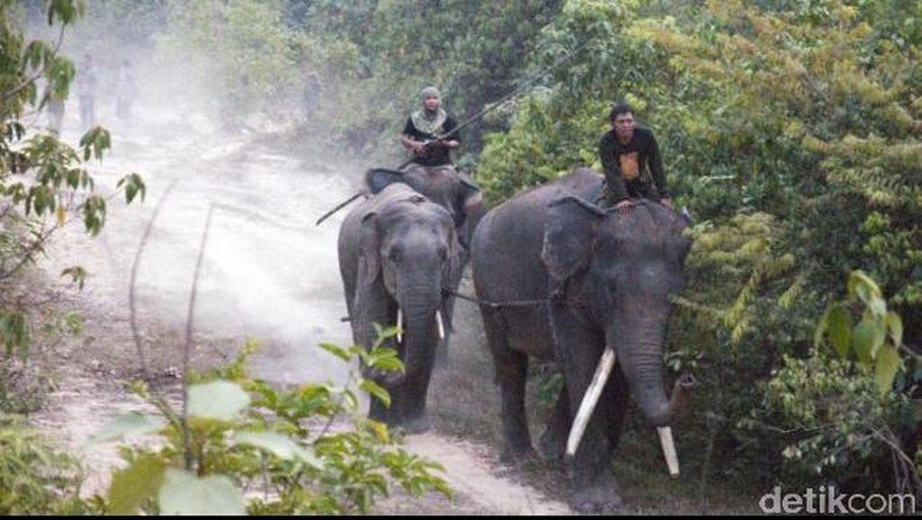 Gajah Liar di Pekanbaru Akhirnya Berhasil Dievakuasi