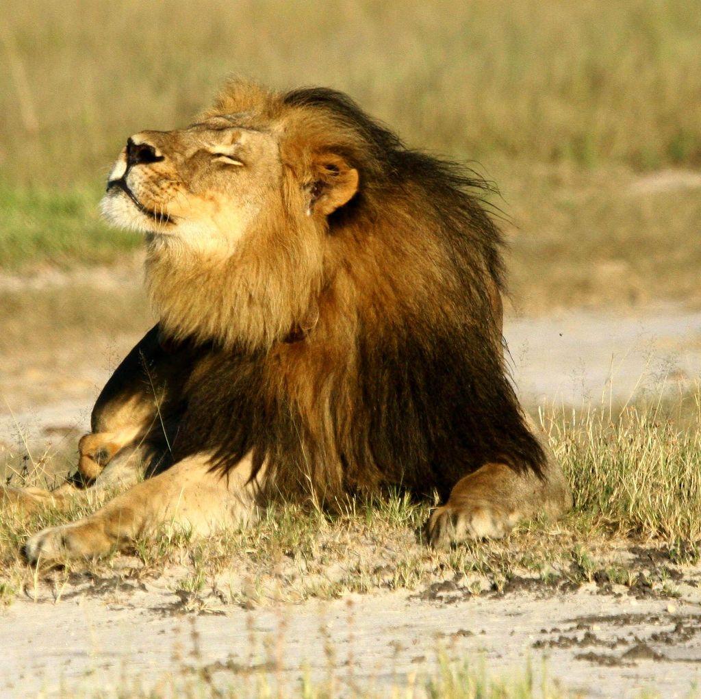 Zimbabwe Tak Akan Tuntut Dokter Gigi AS Pembunuh Singa Cecil