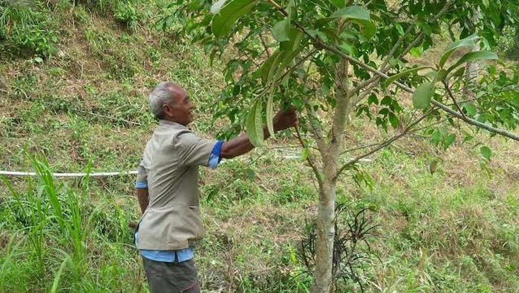 Mbah Sadiman Tak Pernah Patah Semangat Saat Pohon Penghijauannya Dipotong Warga