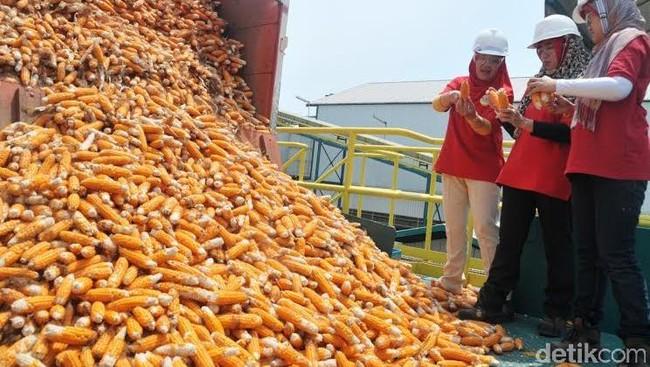Larang Impor Jagung, Mentan: Kami Siapkan Solusinya Minggu Depan