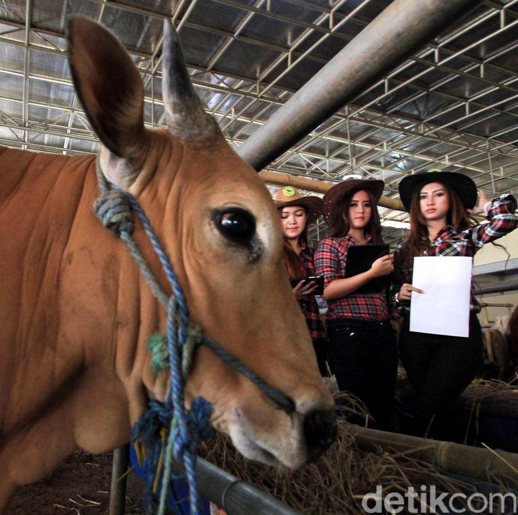 Jaring Bibit Unggul, Kabupaten Pasuruan Gelar Kontes Peternakan