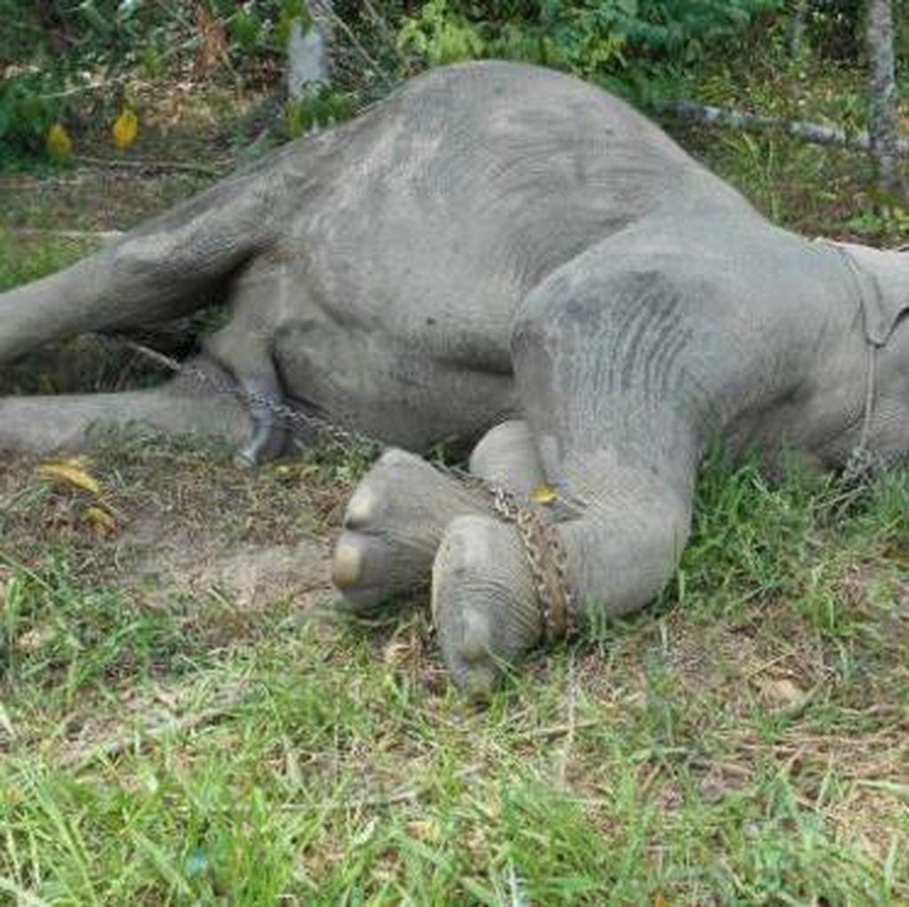 Lagi, Seekor Gajah Betina Mati Diduga Diracun di Aceh
