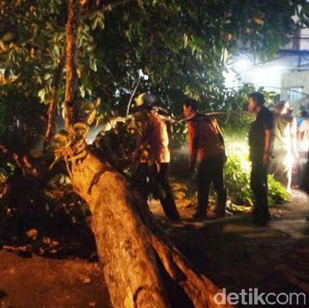 Pohon Tua di Jember Tumbang, Tiga Pengendara Motor Jadi Korban