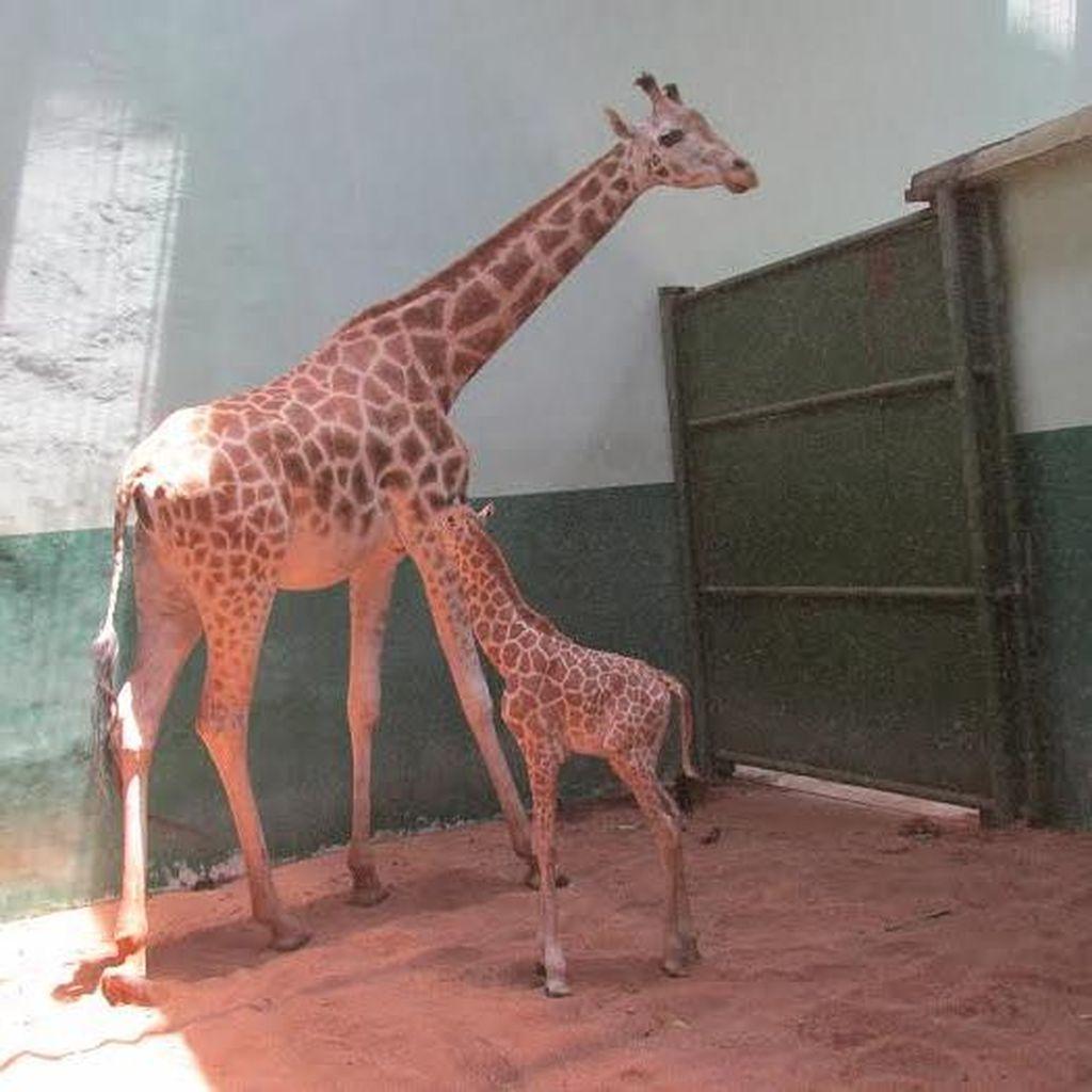 Bayi Jerapah Afrika Menambah Koleksi TSI II Prigen