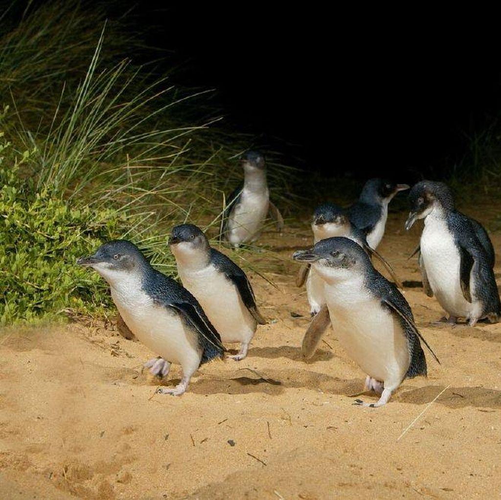 Mengintip Tingkah Lucu Penguin di Phillip Island