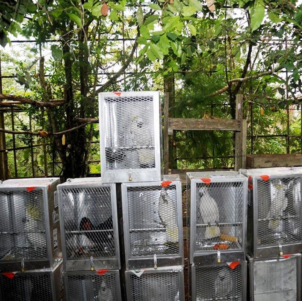 Belasan Burung Kakatua Jambul Kuning Tak Dilepasliarkan karena Sakit