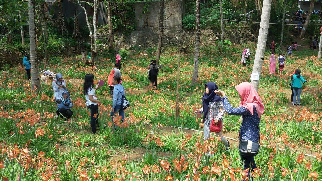 Perjuangan Sukadi Merintis Kebun Bunga Amarilis yang Kini Tinggal Kenangan