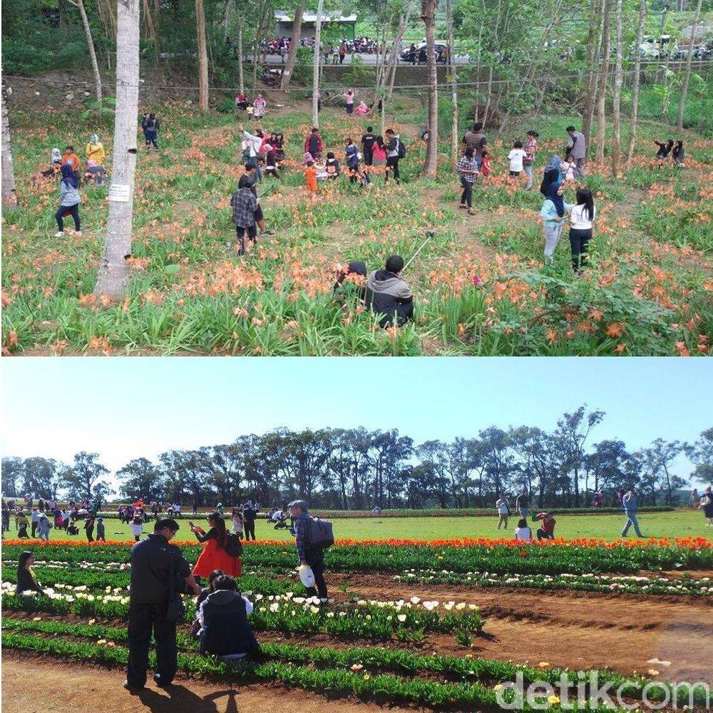 Antara Kebun Amarilis di Yogya dan Kebun Tulip di Victoria Australia