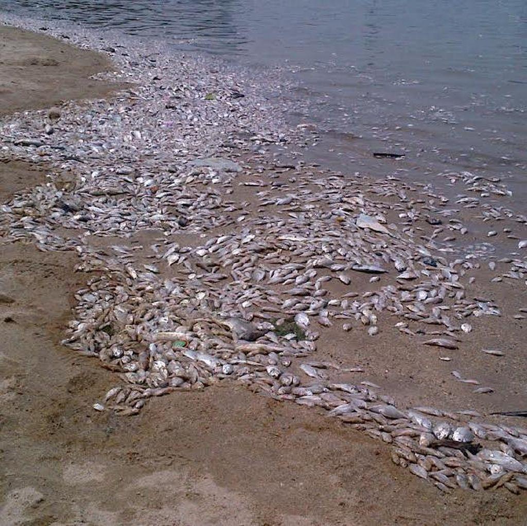 Pengelola Ancol: Ribuan Ikan Mati Terjadi Karena Cuaca Ekstrem