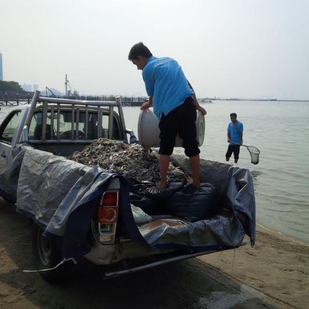 Sudah 5 Kali Mobil Bak Bolak-balik Bersihkan Ikan Mati di Pantai Ancol