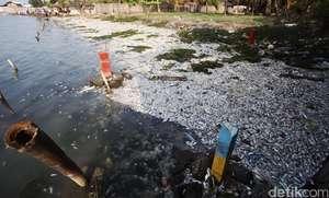 Jutaan Ikan Mati di Ancol
