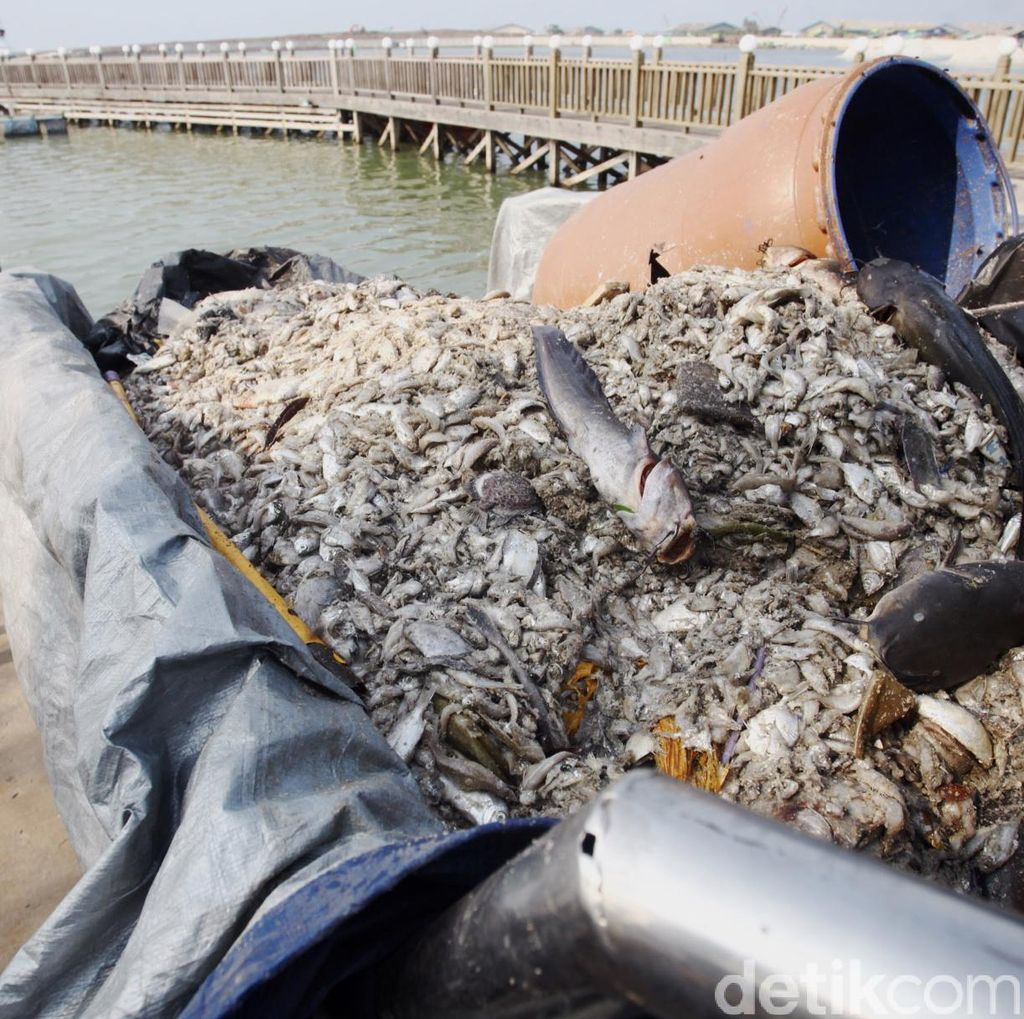 Jenis Ikan Mati di Pantai Ancol Mulai dari Petek, Kakap, Hingga Lele Laut
