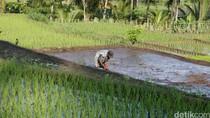 RI Masih Impor Beras Premium, Pemerintah Dinilai Lalai Didik Petani