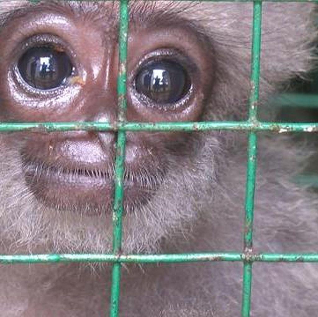 Owa Jawa, Hewan Setia yang Terancam Punah