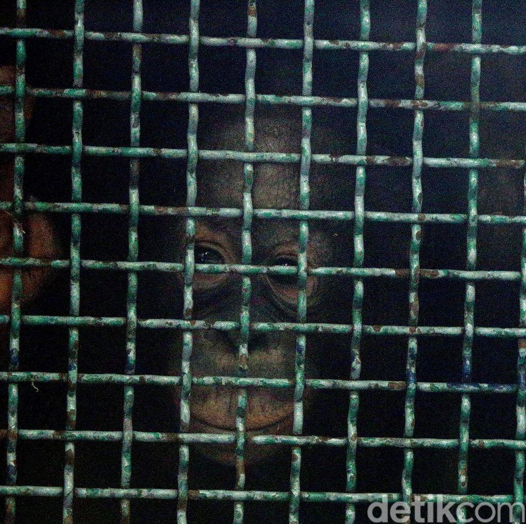 Pelepasan 7 Orangutan ke Hutan Sumatera dan Kalimantan