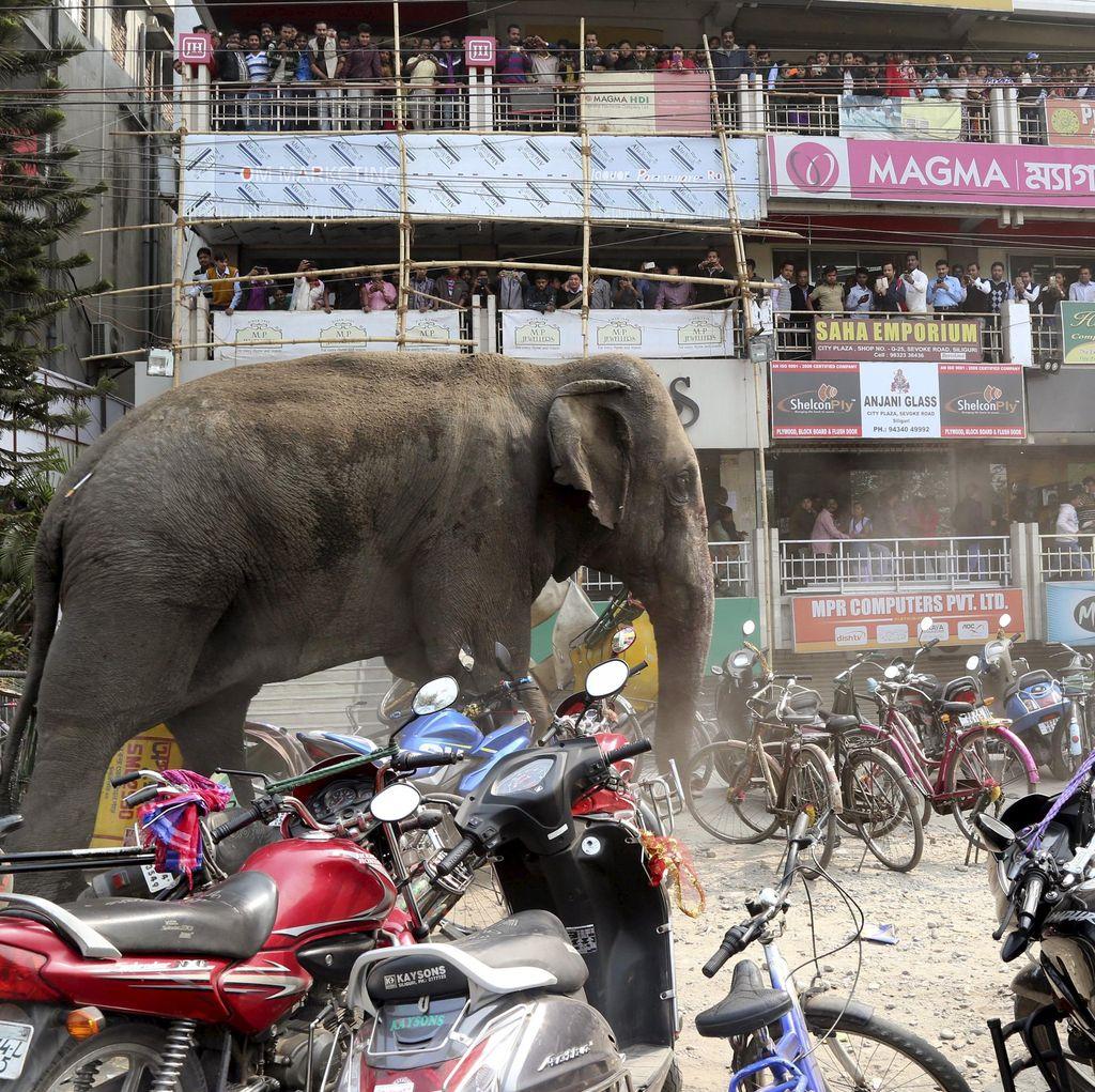 Gajah Liar Mengamuk di India, 100 Rumah Warga Rusak