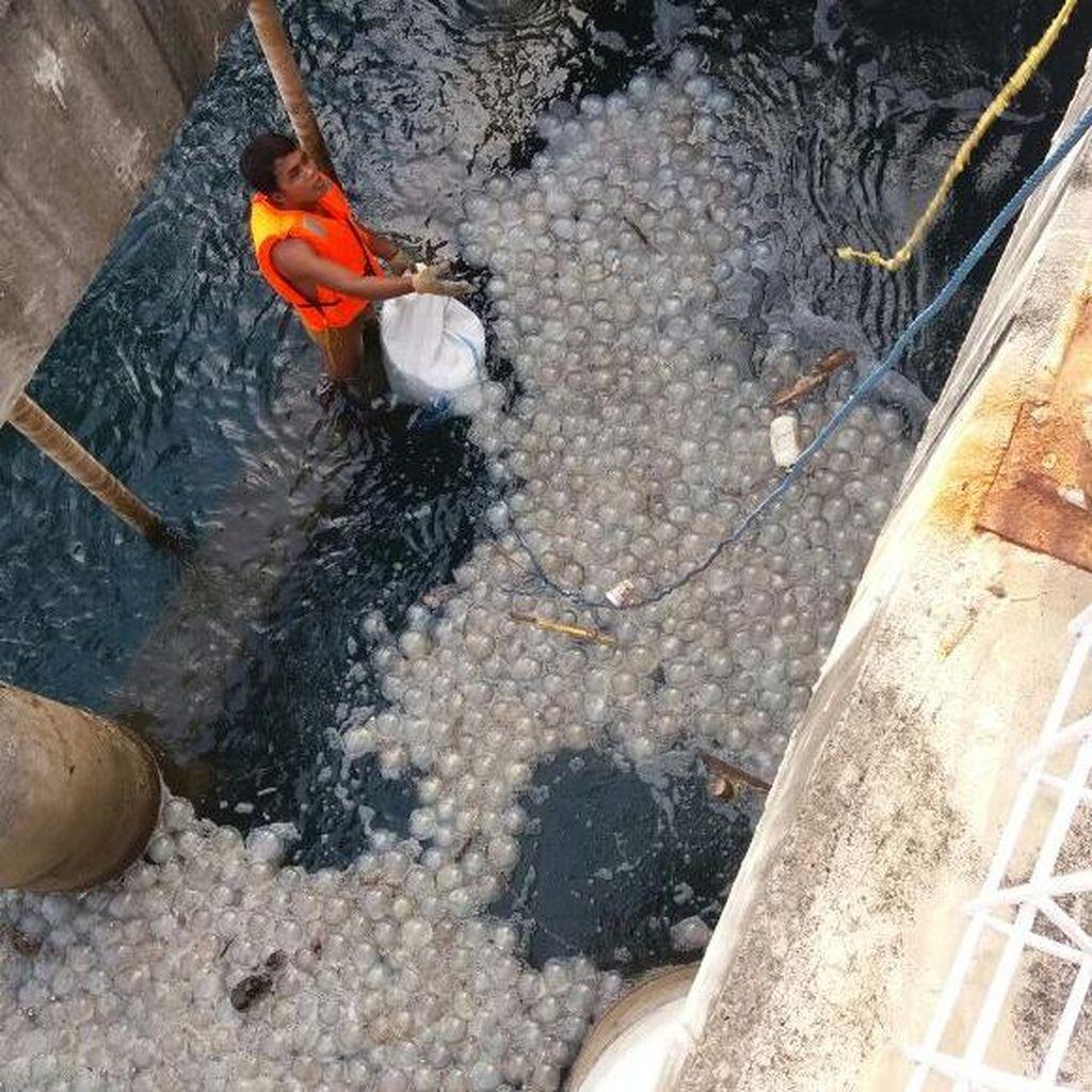 Ribuan Ubur-ubur di Perairan Probolinggo Juga Merusak Unit 6 Mesin Pendingin PLTU Paiton