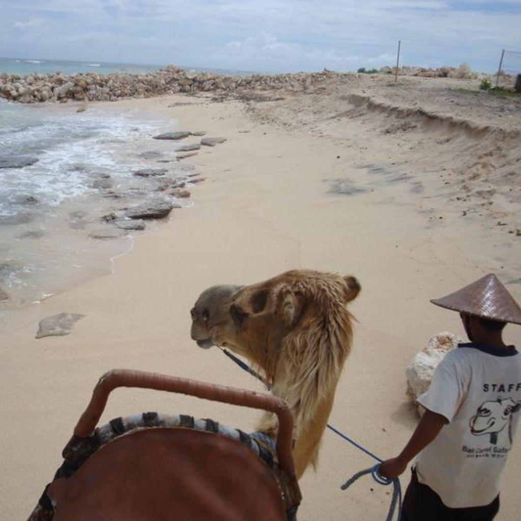 Naik Unta Ala Timur Tengah, Bisa Coba di Bali