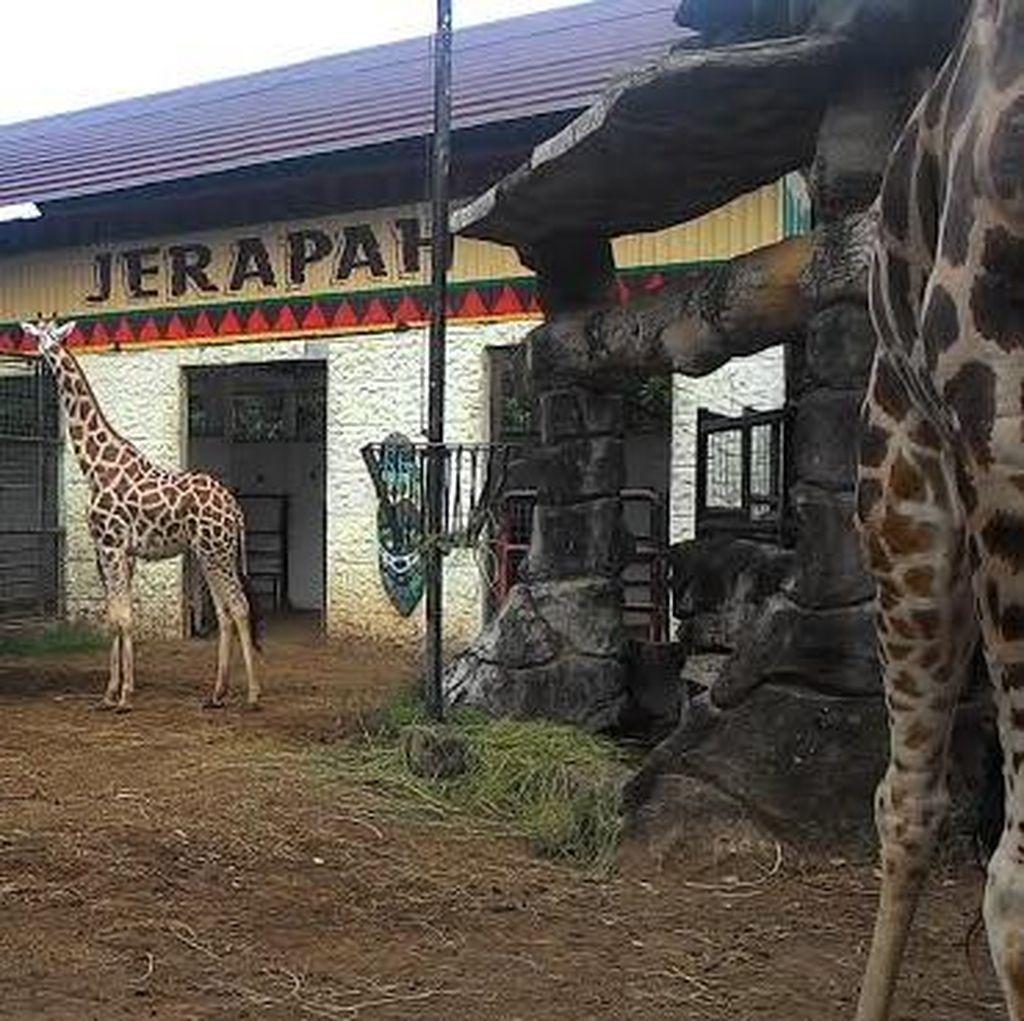 Bayi Jerapah Afrika Menambah Koleksi Maharani Zoo