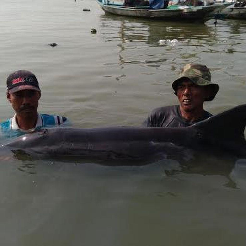 Disorientasi Penyebab Lumba-lumba Terdampar di Pesisir Nambangan