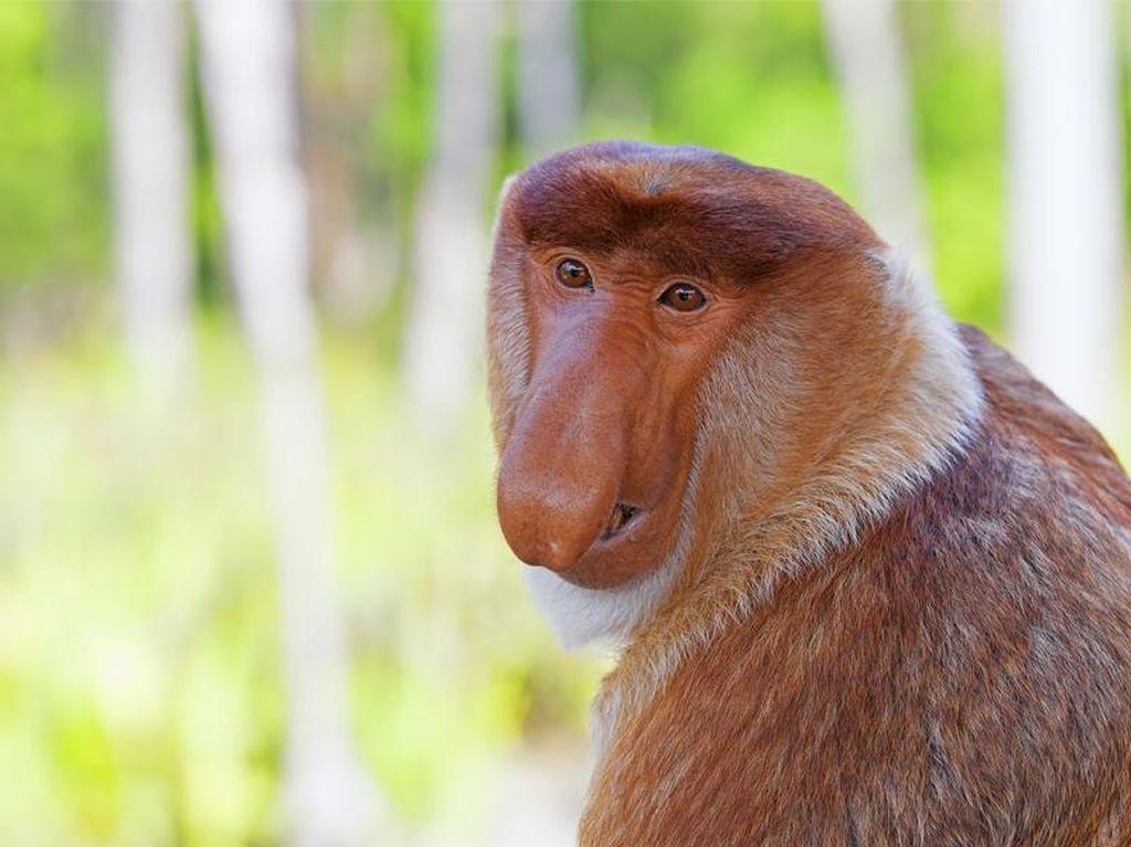 Si Hidung Mancung Asli Kalimantan yang Jadi Maskot Dufan