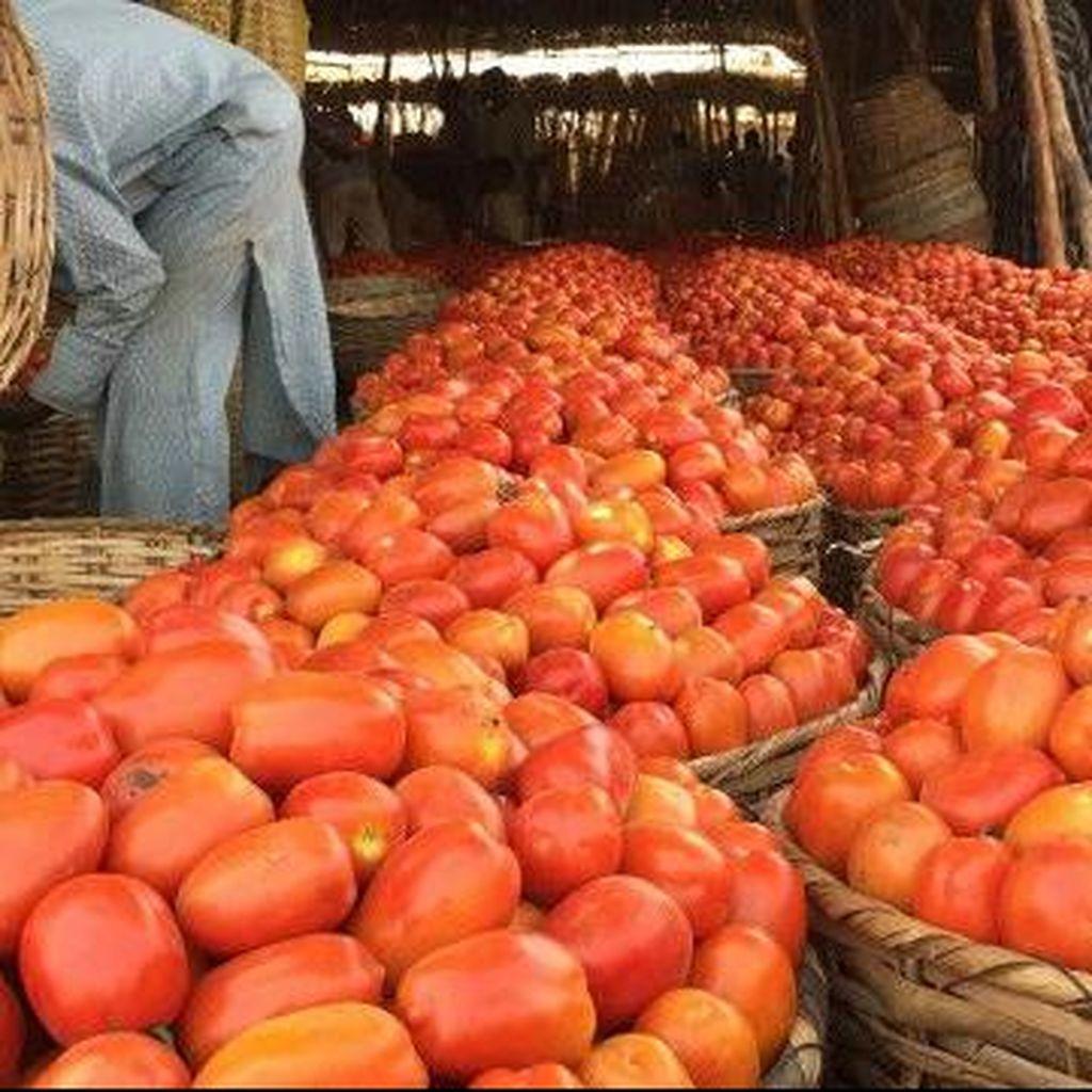 Darurat Tomat di Nigeria akibat Serangan Hama