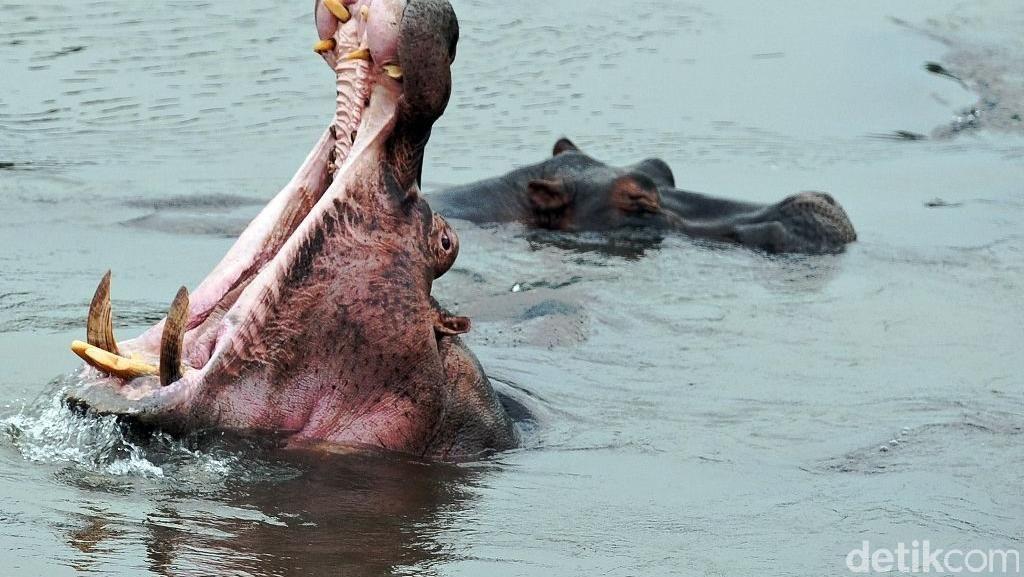 Hampir Mati Diserang Kuda Nil, Nelayan di Senegal Kapok Memancing Lagi