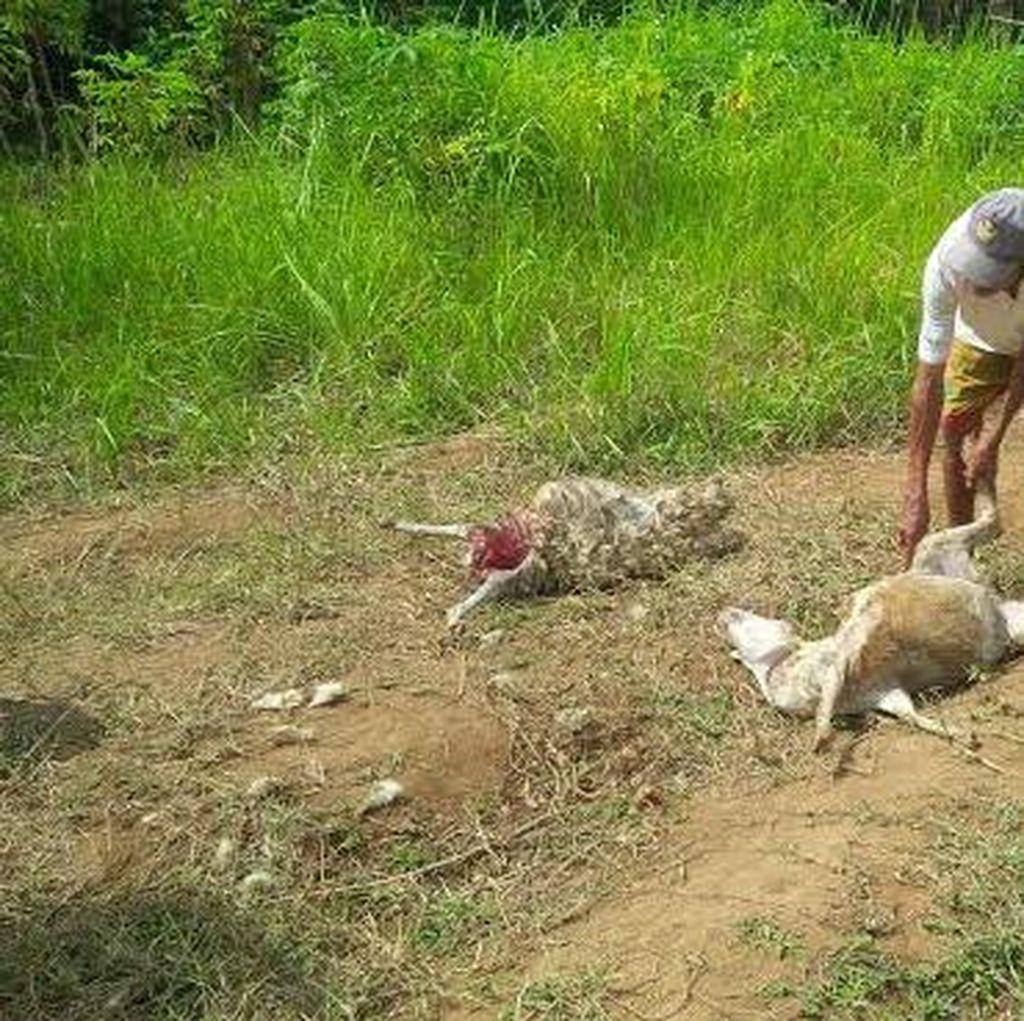 Dinas Peternakan Banyuwangi: Domba Mati Diduga Serangan Anjing Liar