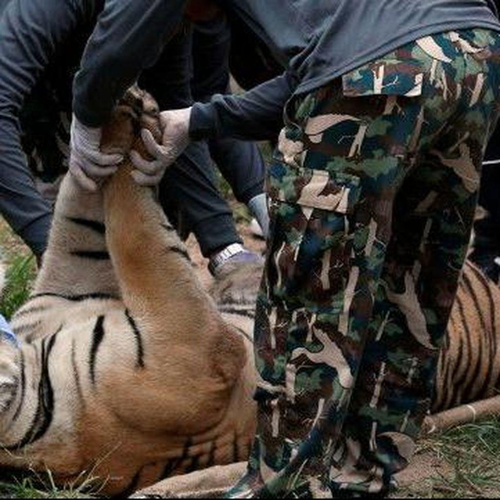 Lebih dari 100 Harimau Dipindahkan dari Kuil di Thailand