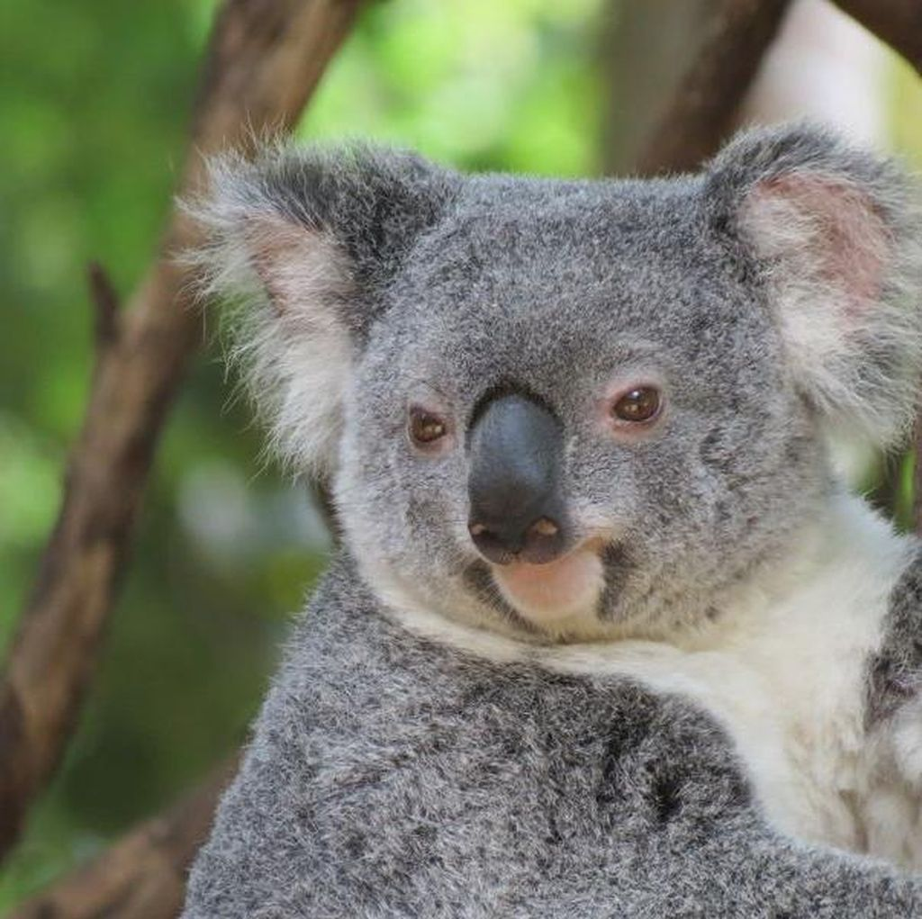 Cute! Memeluk Koala Menggemaskan di Gold Coast