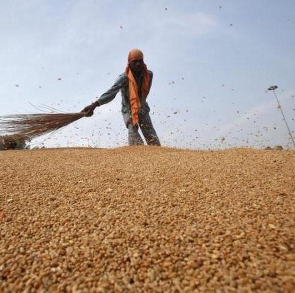 Importir: Kenaikan Impor Gandum untuk Gantikan Jagung Industri Pakan Ternak