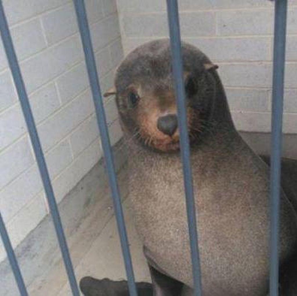 Anjing Laut Ditemukan Tidur di Toilet Pemakaman Tasmania