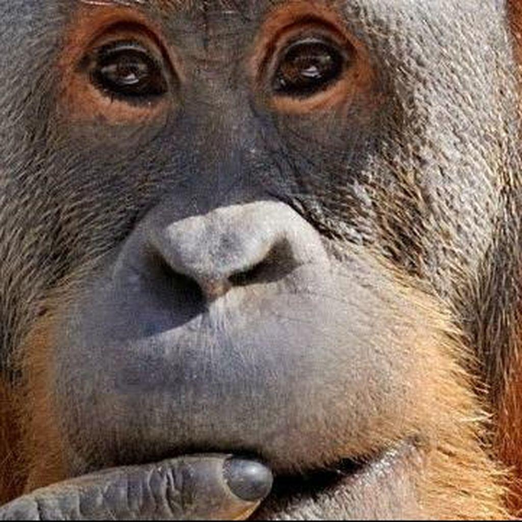 Riset: Orangutan Ternyata Meniru Bahasa Manusia