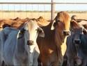Importir Wajib Pasok 20% Sapi Indukan, Mentan: Bisa Percepat Swasembada