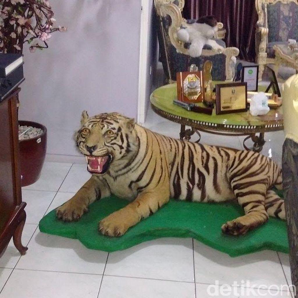 Foto Harimau Sumatera yang Diawetkan dan Elang Jawa di Rumah Aa Gatot Brajamusti