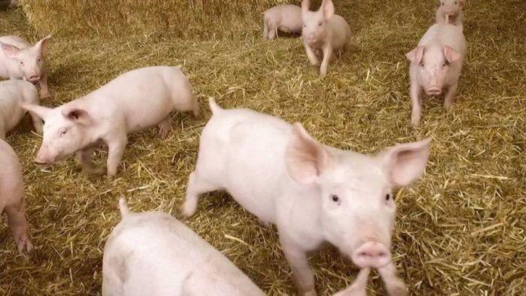 Australia Akan Miliki Pembangkit Listrik Dari Kotoran Babi