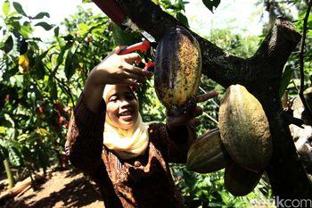 Melihat Pembuatan Cokelat di Yogyakarta