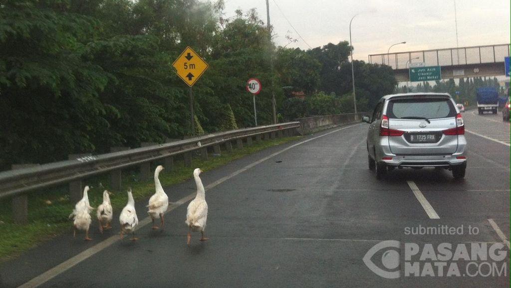 Awas! Ada Angsa Berkeliaran di KM 42 Tol JORR