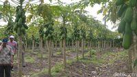 Dulu Dianggap 'Gila', Kini Petani Asal Lamongan Ini Sukses Bisnis Pepaya Calina