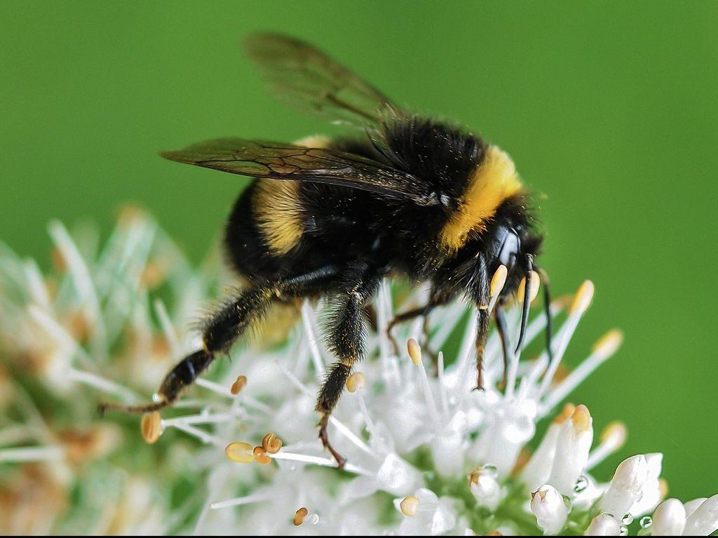Hal Pertama yang Harus Dilakukan Saat Disengat Lebah: Keluarkan Stinger-nya