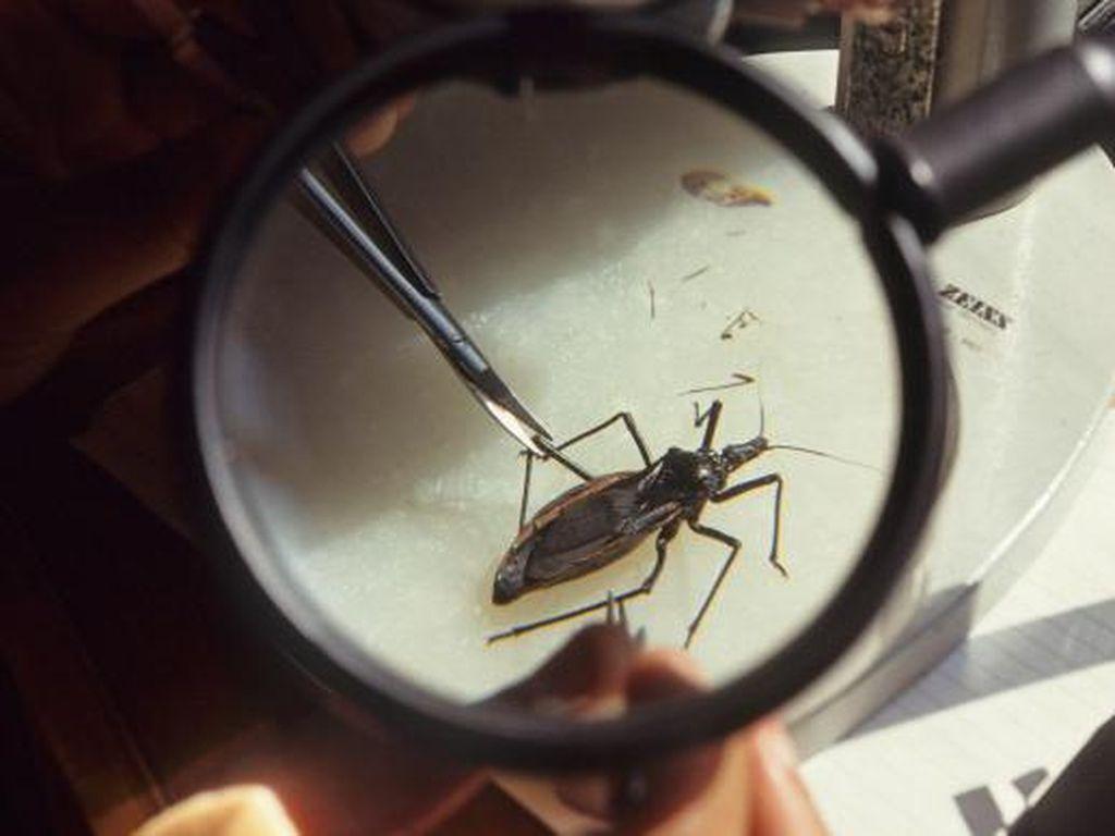 Kissing Bug, Benarkah Dapat Menularkan Penyakit Mematikan?