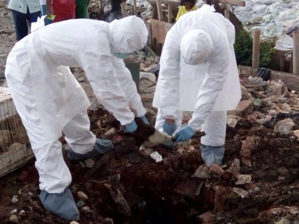 Wabah Flu Burung H5N1 Merebak di Togo, 11.500 Ayam Dimusnahkan