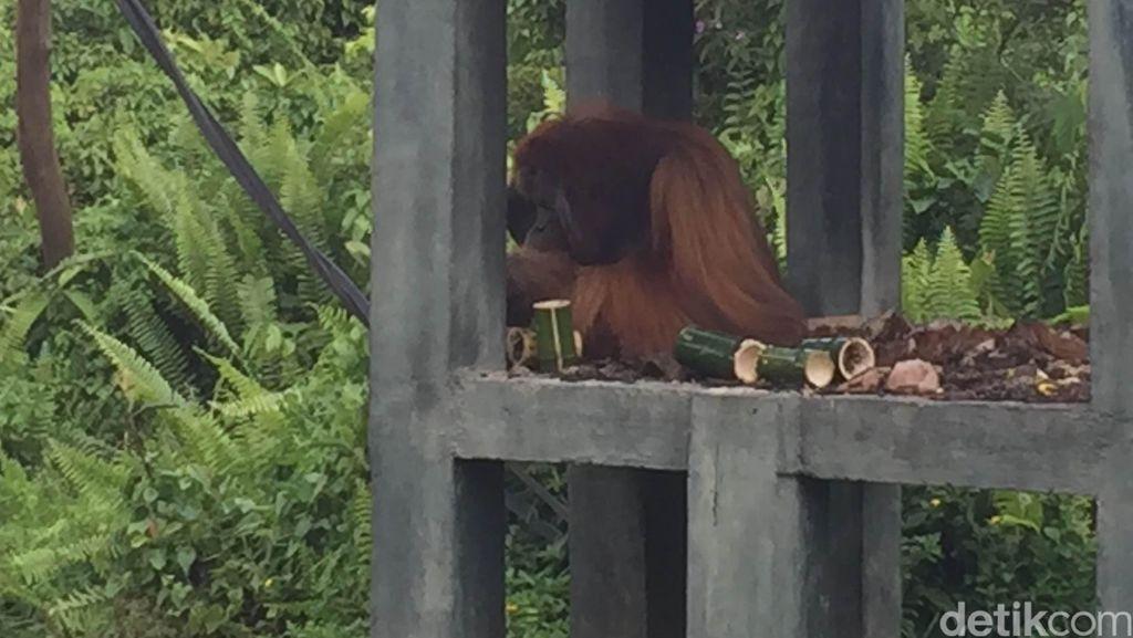 Melihat 'Sekolah' Orangutan di Samboja Sebelum Dilepas ke Alam Liar