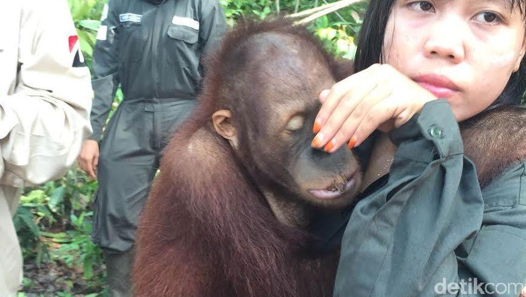Menengok 'Sekolah' Orangutan Borneo di Samboja