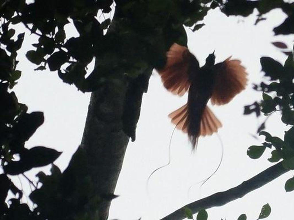 Mengintip Sang Burung Surga dari Tanah Papua