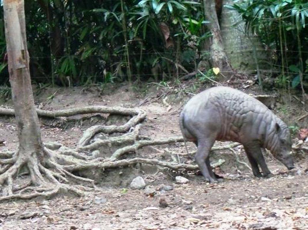 Hewan Ajaib Dari Sulawesi, Kepalanya Babi Kakinya Rusa