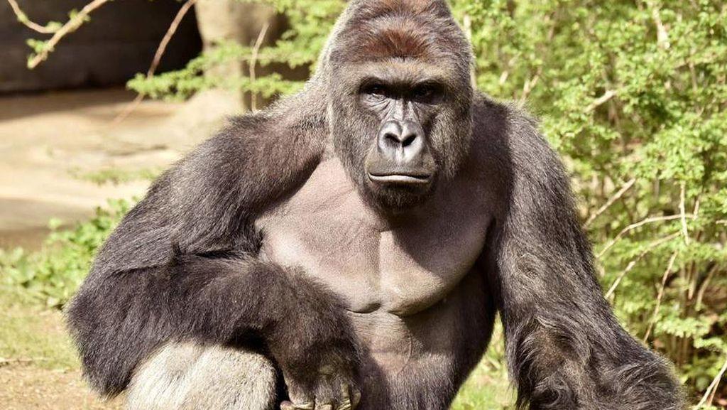 Heboh Gorila Ditembak Mati Demi Selamatkan Bocah AS, Ini Kata Saksi Mata